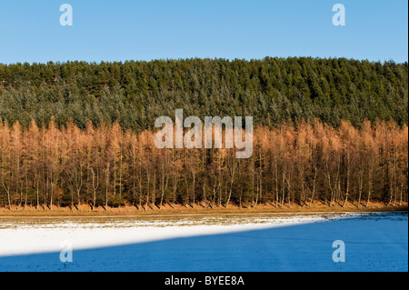 Woodland in mid-Wales, winter. Larches and conifers - Stock Photo