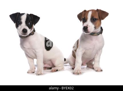 Jack Russell Puppies Sitting Studio - Stock Photo