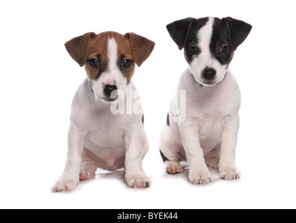 Jack Russell Puppies Sitting Studio - Stock Photo