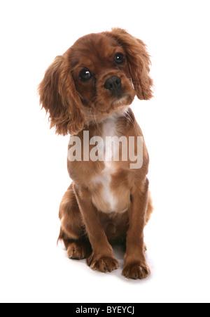 Cavalier King Charles Spaniel Dog Sitting Studio - Stock Photo