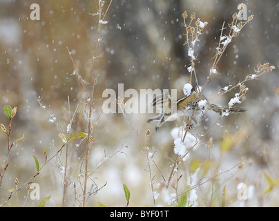 Least Chipmunk jumping stalks in low bushes during snowstorm. - Stock Photo