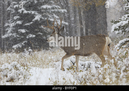 Mule deer buck walking through wintry old-growth forest. - Stock Photo