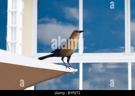 Marriott Doral Golf Resort & Spa , Miami , Florida , USA , Champion's grill , black & brown bird perched on parasol - Stock Photo