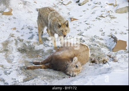 An adult coyote standing guard over a dead baby sheep - Stock Photo