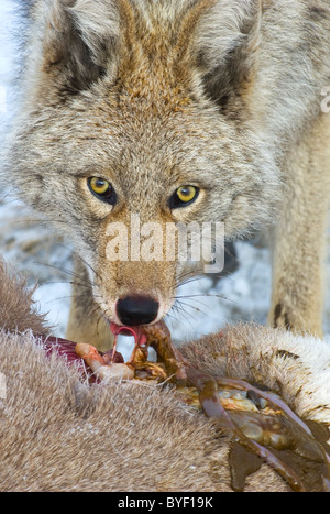 A close up image of an adult coyote feeding on the body of a dead baby Bighorn Sheep. - Stock Photo