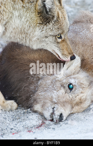 A close up image of an adult coyote standing over and guarding the body of a dead baby Bighorn Sheep. - Stock Photo