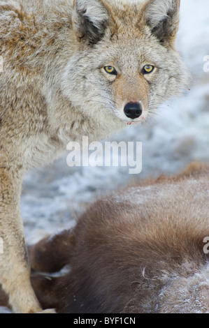 An coyote standing over and guarding the body of a dead Bighorn Sheep. - Stock Photo
