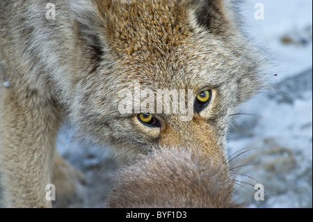 A close up image of an adult coyote feeding a dead Sheep. - Stock Photo