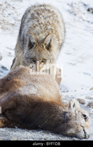 An image of an adult coyote feeding on the body of a dead baby Bighorn Sheep. - Stock Photo