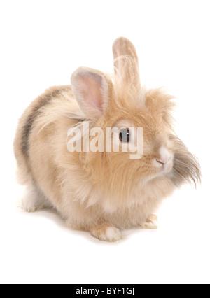 female lionhead rabbit studio - Stock Photo