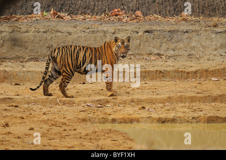 2.5-year-old male Bengal Tiger looking on from on the dry bed of a man-made waterhole in Bandhavgarh Tiger Reserve, - Stock Photo