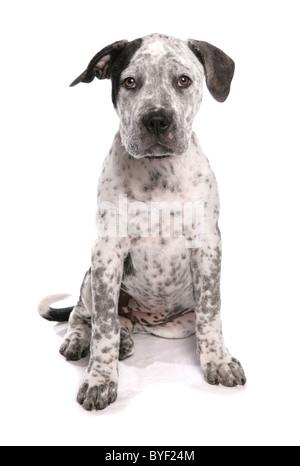 staffordshire bull terrier cross american bulldog puppy sitting studio - Stock Photo