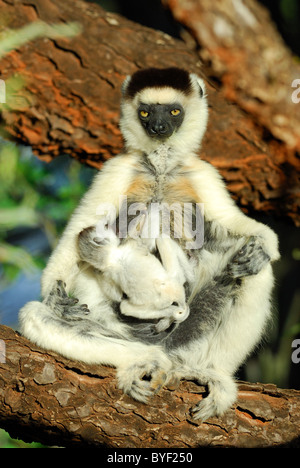 Tired Mother Verreaux's Sifaka (Propithecus verreauxi) with her baby, Madagascar - Stock Photo