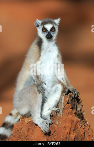 Ring-tailed Lemur (Lemur catta) sunbathing in the Berenty Reserve, Madagascar - Stock Photo
