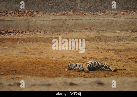 2.5-year-old male Bengal Tiger resting in a dry man-made waterhole in Bandhavgarh Tiger Reserve, India. - Stock Photo