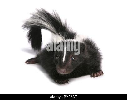 skunk baby in a studio - Stock Photo