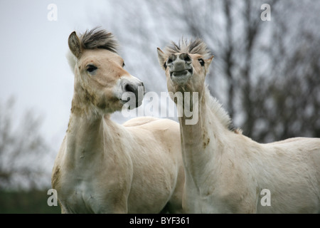 junge Norweger / young horses - Stock Photo