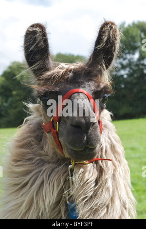 Domestic Llama (Lama glama) on a UK farm with a red halter - Stock Photo