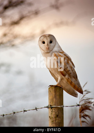 Wild barn owl perched on a fence post in Fleetwood near the River Wyre. Taken 31/01/2011. - Stock Photo