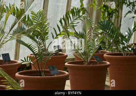 Potted ferns in the Palm House at the Royal Botanic Gardens in Kew - Stock Photo