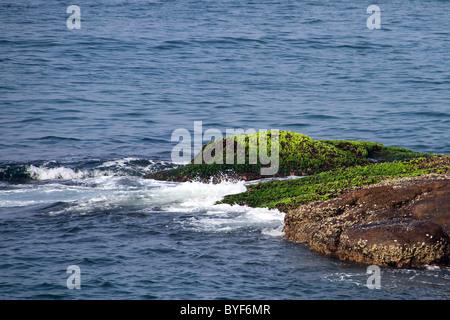 green seaweed on rocks - Stock Photo
