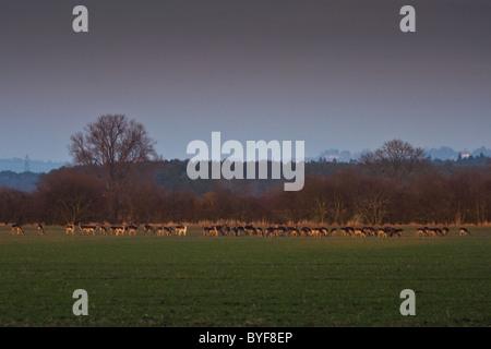 A large herd of wild Fallow Deer graze on a farm field in Oxfordshire - Stock Photo
