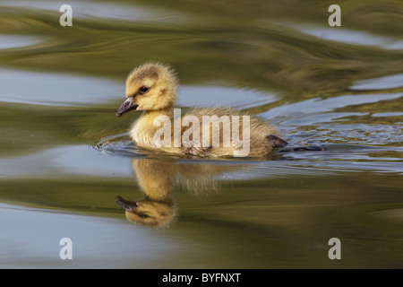 Mallard (Anas platyrhynchos) duckling and reflection, Verulamiun Park, St Albans, Hertfordshire, England, United - Stock Photo
