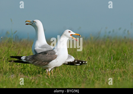 Lesser Black-backed Gull (Larus fuscus). Calling adult in summer plumage standing on grass with Herring Gull (Larus - Stock Photo