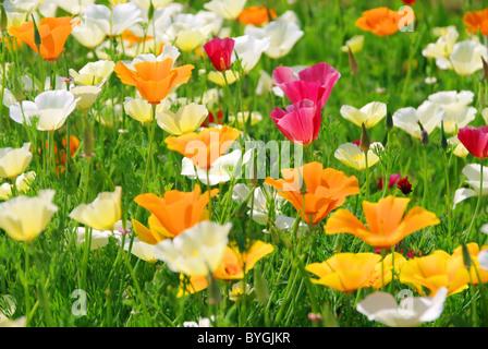 Kalifornischer Mohn - California poppy 26 - Stock Photo