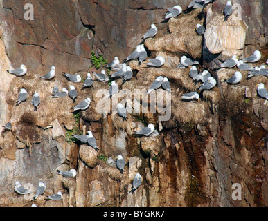 A group of seagulls sitting on a nest. Glaucous Gull (Larus hyperboreus) in Barents Sea coast area, Russian Arctic - Stock Photo