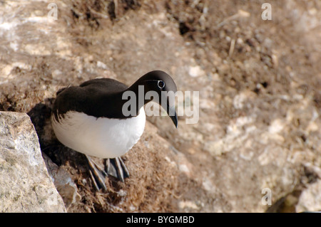 Guillemot sit on a rock and look down.  Common Murre or Common Guillemot (Uria aalge, Pontoppidan), Barents Sea, - Stock Photo