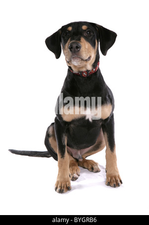 Dobermann Puppy Single young male sitting studio - Stock Photo