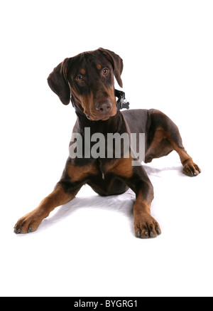 Dobermann Dog Single adult male laying studio - Stock Photo