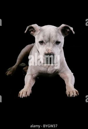 Staffordshire bull terrier dog single adult male laying studio - Stock Photo