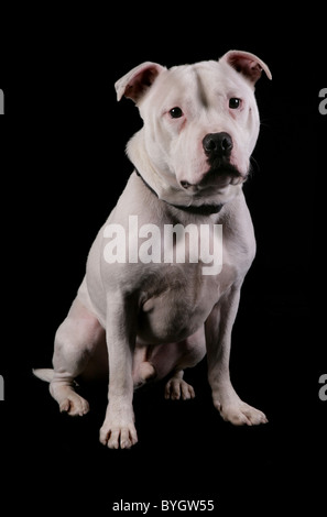 Staffordshire bull terrier dog single adult male sitting studio - Stock Photo
