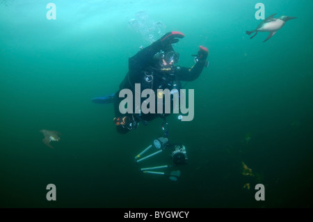 Female scuba diver look at on group of guillemots swims under water. Common Murre or Common Guillemots (Uria aalge, - Stock Photo