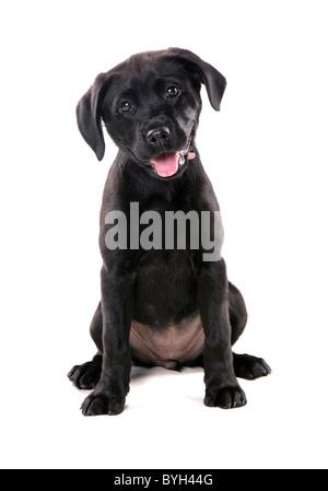 Black Labrador Puppy Single young female sitting studio - Stock Photo