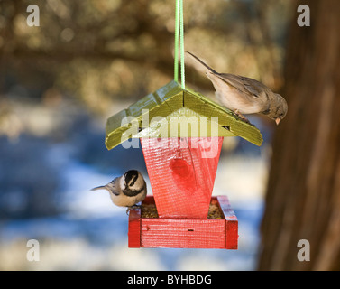 A mountain chickadee and a female house finch feed from a bird feeder - Stock Photo