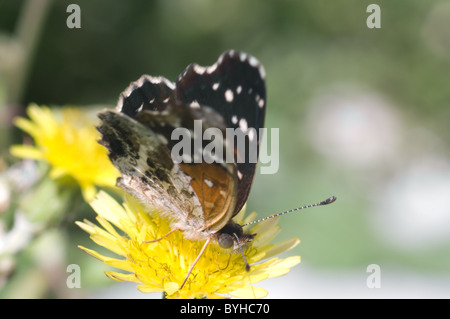 Close up photo of a Texan Crescent butterfly (Anthanassa texana) in central Mexico - Stock Photo