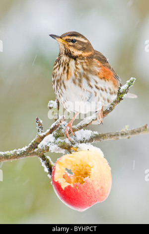 Redwing perched in apple tree Stock Photo