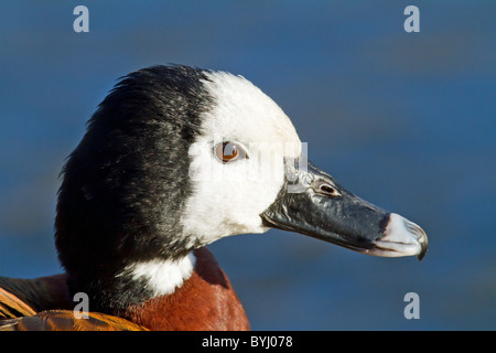 Portrait of Whistling Tree Duck - Stock Photo