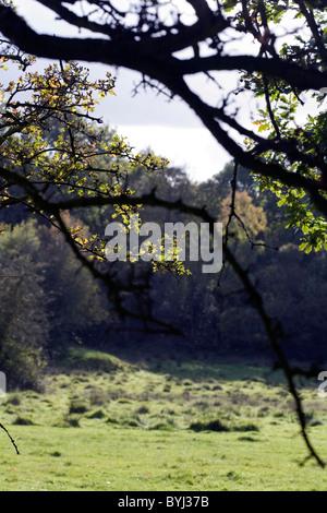 Hawthorn Tree in a hedge Poynton Cheshire England - Stock Photo