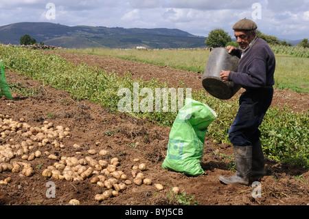 Farmer picking potatoes GRANDAS DE SALIME Asturias  SPAIN - Stock Photo