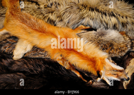 A red fox pelt in a pile of fur. USA. - Stock Photo