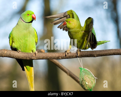 Two Rose-ringed parakeet (Psittacula krameri) perched on branch - Stock Photo