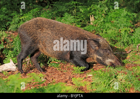 Wild Boar (Sus scrofa) digging for food. Highland Wildlife Park, Scotland. - Stock Photo