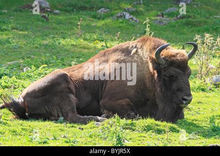European Bison (Bison bonasus) resting at Highland Wildlife Park, Scotland. - Stock Photo