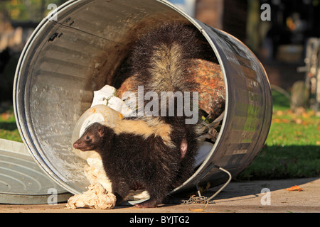 Striped Skunk (Mephitis mephitis) foraging in a dustbin. - Stock Photo