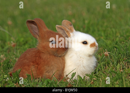Domestic Rabbit, Dwarf Rabbit (Oryctolagus cuniculus f. domestica). Two individuals in a meadow. - Stock Photo
