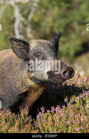 Wild Boar (Sus scrofa) standing in flowering heather. Highland Wildlife Park, Scotland. - Stock Photo
